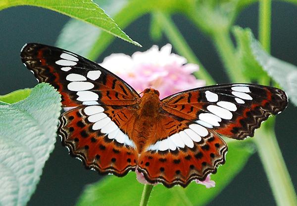 Commander_butterfly_(1)